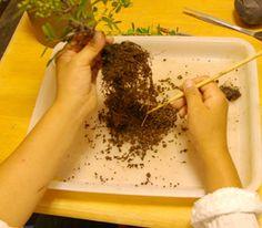 bonsai repotting