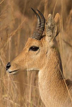 Mountain Reedbuck ram, nice shape on the horns, about 6 inches