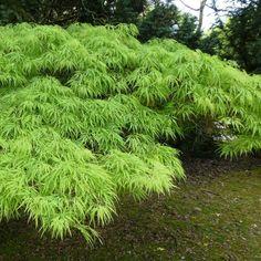 """Acer palmatum Phoenix-Érable du Japon plant in 3.5/"""" pot"""