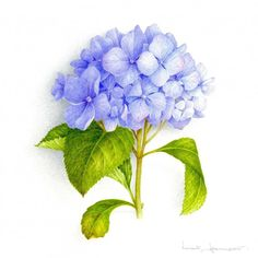 Blue Hydrangea - VINCENT JEANNEROT. Botanical watercolor Watercolor Flowers, Watercolor Paintings, Botanical Illustration, Botanical Art, Drawing Techniques, Les Oeuvres, Plant Leaves, Drawings, Creative