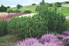 PINUS mugo var. pumilio (HAENKE) ZENARI, Zwerg-Kiefer   Pflanzen   null   Bruns-Website