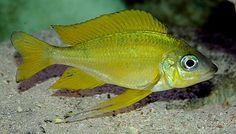 Portal:Akvariefiskar – Wikipedia