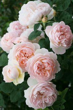 Shade Garden Flowers And Decor Ideas 'Delicate Hermione' - David Austin Amazing Flowers, Beautiful Roses, Pretty Flowers, Beautiful Gardens, Pink Flowers, Exotic Flowers, Yellow Roses, House Beautiful, Ranunculus Flowers