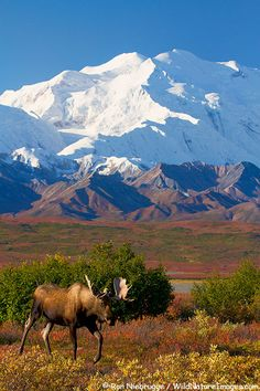 Bull moose in front of Mt. McKinley, Denali National Park, Alaska (Photo by Ron Niebrugge) Places To Travel, Places To See, Belle Image Nature, North To Alaska, Visit Alaska, Alaska Trip, Alaska Travel, Voyage Usa, Flora Und Fauna