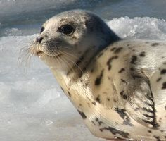 Seal Hunt: It's Not over. Please keep the pressure on the Prime Minister pm@pm.gc.ca | Flickr