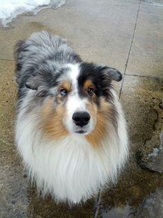 My boy, Logan! #bluemerle #sheltie #shetlandsheepdog