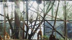 Conocé a los monos carayá