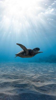 Sea Turtle Wallpaper, Animal Wallpaper, Baby Sea Turtles, Cute Turtles, Marinha Wallpaper, Tier Wallpaper, Under The Ocean, Baby Animals Pictures, Marine Biology