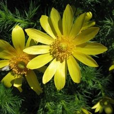 Miłek wiosenny Adonis vernalis