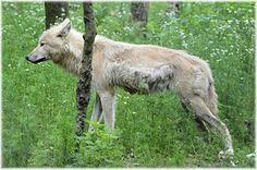 Wolf, Prédateur, Loup Européen
