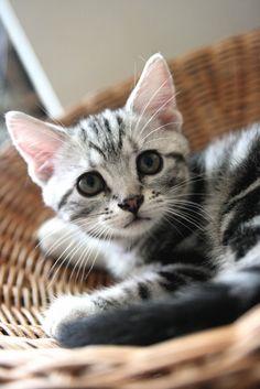 Cute little silver tabby in basket