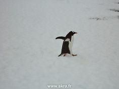 Manchot papou en route vers l'aventure, Antarctique