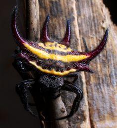allphy: Aranha de escudo pontudo - Gasteracantha falcicornis