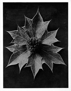 Karl Blossfeldt biography - An artist, teacher, sculptor and photographer from Germany, Karl Blossfeldt - worked in Berlin till the age of He was inspired by nature Karl Blossfeldt, Botanical Illustration, Botanical Prints, Sea Holly, Non Plus Ultra, Berlin, A Level Art, Seed Pods, Natural Forms