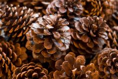 larger Pinecones for fire starters