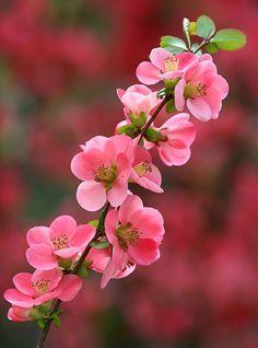Como la flor de durazno