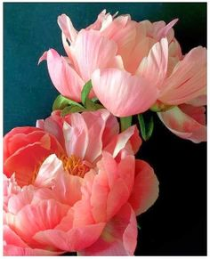 Two Pink Peonies