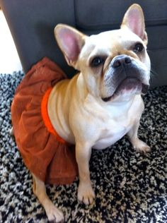 Izzy, the French Bulldog in a skirt, so cute ; }