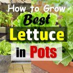Growing Lettuce In Containers | How To Grow Lettuce In Pots