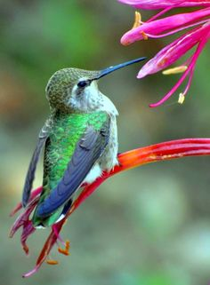 Anna's hummingbird perched on the Ammocharis longifolia blooms. photo by Melanie…