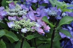 "Hydrangea macrophylla ""Zorro"" - bought this on clearance at Lowes last fall - should grow to 6x8' - blue or pink depending on pH."