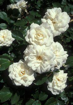 'Lace Cascade' Climbing Rose