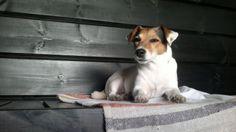 Jack Russell Terrier Hilkka