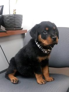 This rottweiler puppy is named Sadie Grace. She has some pug canine companions at home, and they already all love to play together! She's pictured here at The Cheshire Horse in Swanzey, NH.