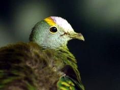 Coroneted Fruit Dove