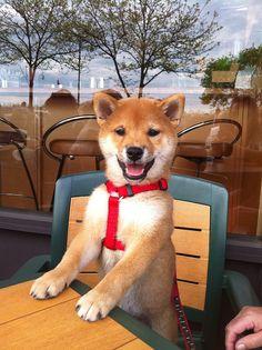 happy Shiba pup