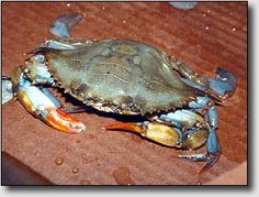 Buying Soft Shell Crabs Lots of good information including a sizing guide