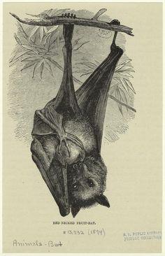 Botanical Illustration, Illustration Art, Illustrations, John Kenn, Bat Species, Fruit Bat, Creatures Of The Night, Natural History, Dark Art