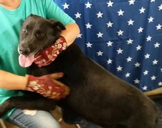 Adopt Lady On Petfinder Pitbull Rescue Dog Adoption Labrador Retriever