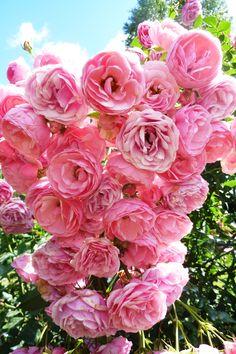 Роза Pomponella
