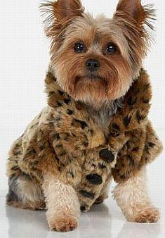 funny yorkie puppy pictures | Marcas famosas investem mais em roupas pets