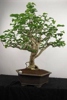 Bonsai Hibiscus, no. 4083