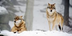 Don't let Obama destroy our wolves! Please sign the petition! We only have until the 27th.