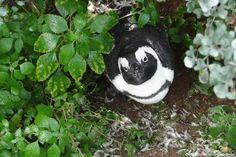 © Photoglobus, Stefanie Hörburger, Süd-Afrikanischer Penguin
