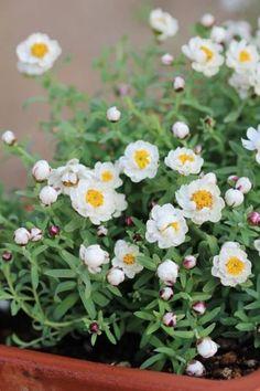 花かんざしの増やし方 挿し木をしてみた | 50代美肌コスメ健康美人になる方法 Green Flowers, Flower Photos, Lawn And Garden, Backyard Landscaping, Landscape, Beautiful, Gardening, Gardens, Plants