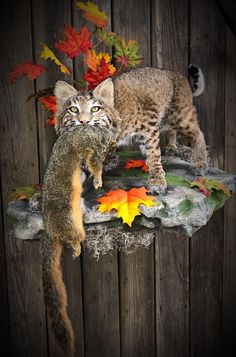 Beautiful bobcat mounted by Kelly Staton - Customer Mounts Using Our Products - Cute cat Bobcat Mounts, Deer Mounts, Taxidermy Decor, Taxidermy Display, Deer Mount Decor, Power Animal, Mammals, Hunting, Wildlife
