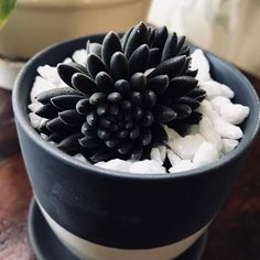 Hello darkness, my old friend. Black Succulents, Succulents For Sale, Succulent Gardening, Planting Succulents, Planting Flowers, Vegetable Garden For Beginners, Gardening For Beginners, Echeveria, Easy Care Houseplants