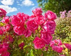 календарь розовода:как ухаживать за розами круглый год