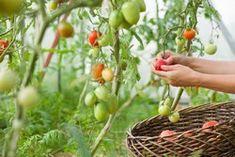 Tomoffel pflanzen – Anleitung und Tipps zur Kübelpflanzung