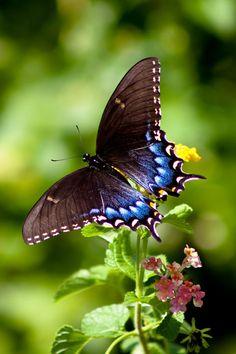 Spicebush Swallowtail by Lynne Jenkins*