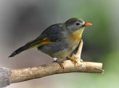 Pekin Robin