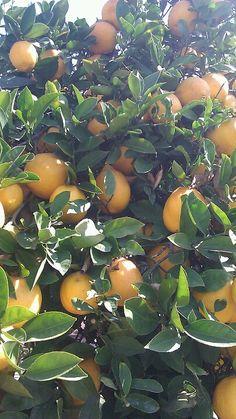 My actual lemon tree