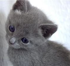 Russian Blue On Pinterest 72 Pins | CatBreedsPic
