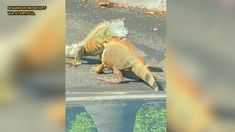 FOX NEWS: Iguana drama: Viral video shows dueling lizards in Starbucks parking lot
