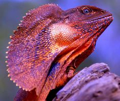 Frilled Lizard, Copied, But Never Equaled. Les Reptiles, Reptiles And Amphibians, Mammals, Geckos, Lizards For Sale, Lizard Image, Animals And Pets, Cute Animals, Chameleon Lizard