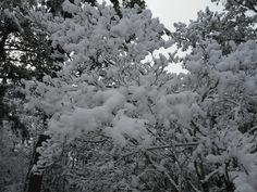 Branches, Spring Snow, 2013